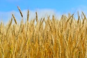 下痢の原因は小麦に