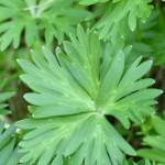 下痢の原因 危険な植物トリカブト